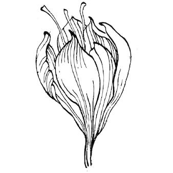 Крокус цветок, гравюра старинные иллюстрации