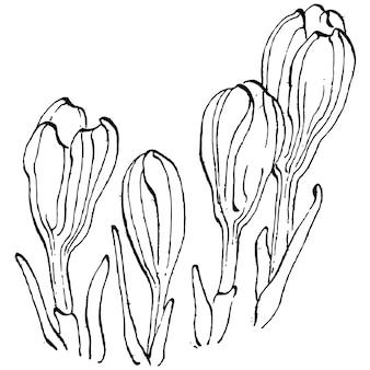 白で分離されたクロッカスの花