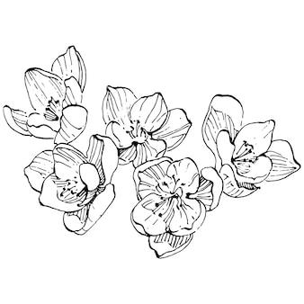 Crocus flower   sketch illustration isolated   saffron line art. cute hand drawn flower in black outline and white plane