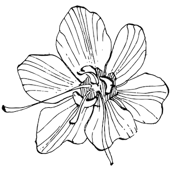 크 로커 스 꽃 스케치 그림 절연 사프란 라인 아트. 검은 윤곽선과 흰색 비행기에 귀여운 손으로 그린 꽃