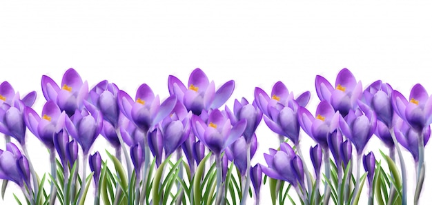 Crocus flowers background watercolor