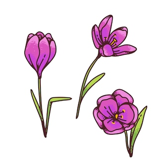 Crocus pink saffron flowers spring primroses set for design greeting card. outline sketch illustration