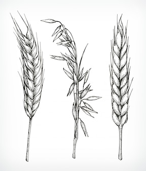 Crops, wheat and oat sketches, hand drawing,  set