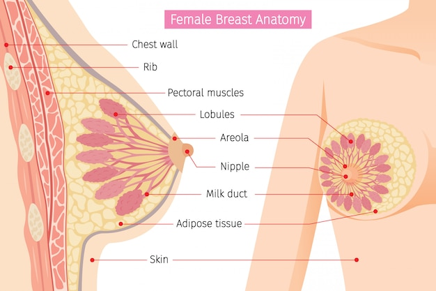 Cross section of female breast anatomy