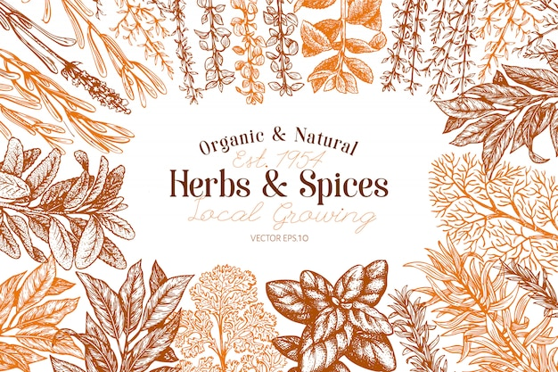 Culinary herbs and spices hand drawn retro botanical illustration.