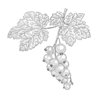 A currant berry with leaves on a branch