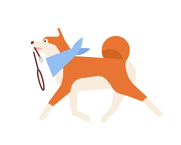 Симпатичная акита-ину с поводком. очаровательная японская собака в шарфе на шее, готовая к прогулке. ежедневная активность домашнего животного или питомца. счастливый пушистый друг. плоский мультфильм красочные векторные иллюстрации.