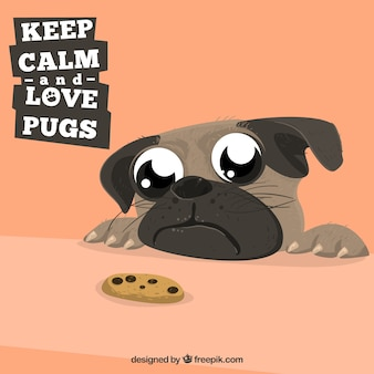 Cute pug looking at a cookie