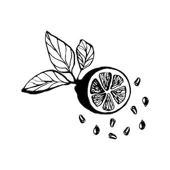 메뉴 또는 레시피 doodle 벡터 일러스트레이션을 위한 잎과 씨앗이 있는 귀여운 한 손으로 그린 레몬