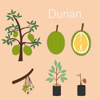 Cycle growing for durian plant