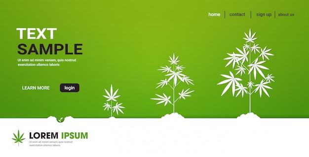 医療用マリファナ大麻プランテーション産業概念水平コピースペースの植え付け大麻植物成長段階のサイクル