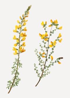 Cytisus complicatusの花