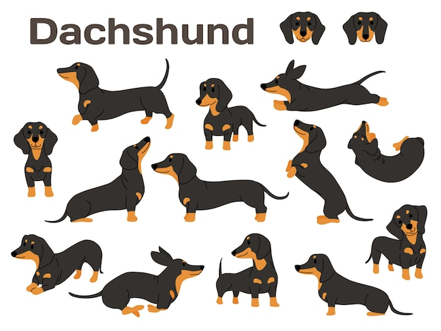 Dachshund dog in action