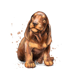 Dachshund puppy from a splash of watercolor, hand drawn sketch.  illustration of paints
