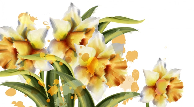 Daffodil flowers watercolor