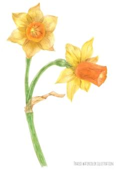 Daffodil narcissus branch