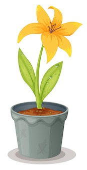 Daffodil in a pot