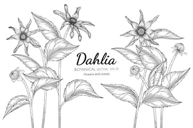 ダリアの花と葉の手描きの植物イラスト。