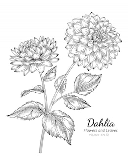 Dahlia flower drawing illustration with line art on white backgrounds.