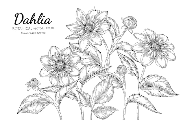 Dahlia flower and leaf hand drawn botanical illustration with line art on white backgrounds.