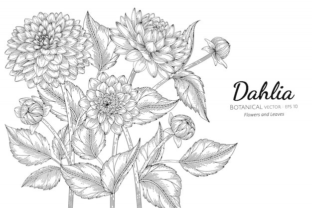 Dahlia flower and leaf hand drawn botanical illustration with line art