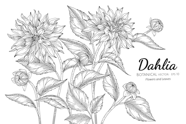 Dahlia flower and leaf hand drawn botanical illustration.