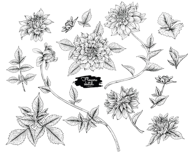 Dahlia leaf and flower drawings