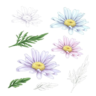 Daisy flower drawing.