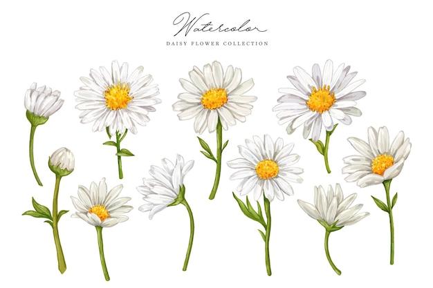 Маргаритка цветок рисованной акварель коллекция