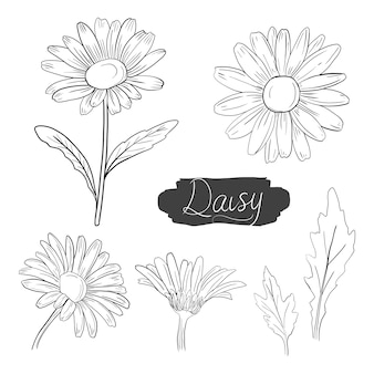 Daisy flower vector ink illustration with hand drawn art