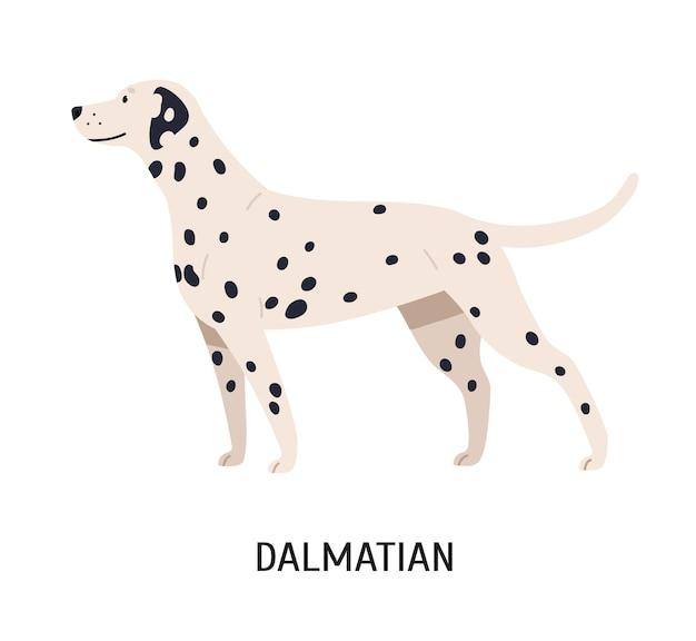 ダルメシアン。白い背景で隔離のゴージャスな面白い純血種の犬。斑点のある短い髪のコートを持つ美しいかわいい家畜やペット。フラット漫画スタイルのカラフルなベクトルイラスト。