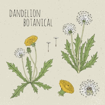 Одуванчик медицинская ботаническая иллюстрация. растение, цветы, листья, семена, корень рисованной набор. старинный красочный эскиз.