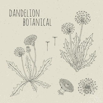 Иллюстрация одуванчика медицинская ботаническая изолированная. растение, цветы, листья, семена, корень рисованной набор. старинный набросок эскиз.