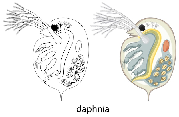 Daphnia in colour and doodle on white background
