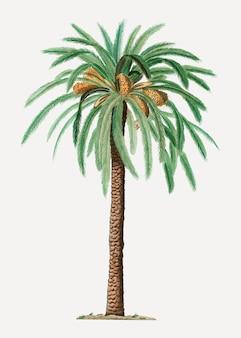 대추 야자 나무