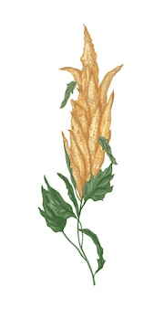 Decorative natural drawing of quinoa or amaranth flowering plant or inflorescence