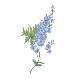 Delphinium or larkspur purple blooming flowers isolated on white background