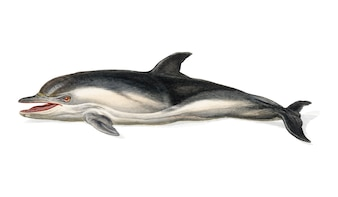 Delphinus delphis illustrated by Charles Dessalines D Orbigny (1806-1876).