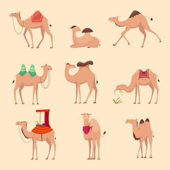 Desert camels. african funny animals for travelling across africa or egypt pictures.