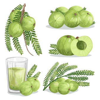 Detailed amla fruit elements collection