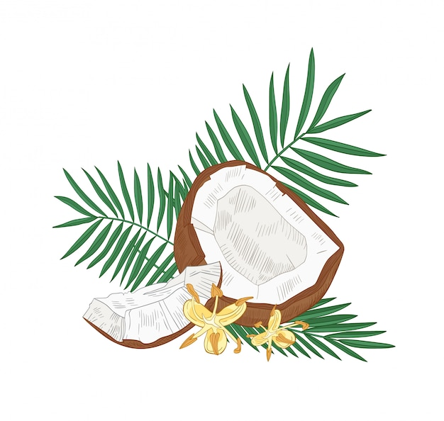Detailed botanical drawing of cracked coconut, palm tree leaves and flowers isolated on white background. edible fresh exotic tropical fruit or drupe. realistic illustration in vintage style.