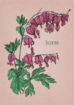 화려한 분홍색 꽃과 녹색 잎이 있는 디센트라의 상세한 식물 그림. 아름 다운 개화 초본 식물 또는 꽃이 만발한 허브. 빈티지 스타일에서 그린 다채로운 벡터 일러스트 레이 션 손입니다.