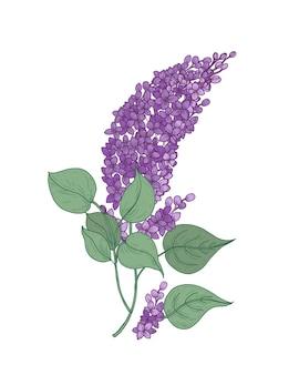 Подробный ботанический рисунок ветки сирени с фиолетовыми цветами и зелеными листьями на белом фоне.