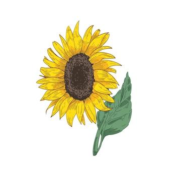 ヒマワリの頭、茎、葉の詳細な植物画。白い背景に描かれた美しい花や栽培作物の手描き。
