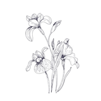 Detailed drawing of spring iris flowers and buds. seasonal beautiful garden flowering plant isolated on white