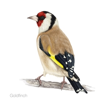 Detailed goldfinch illustration