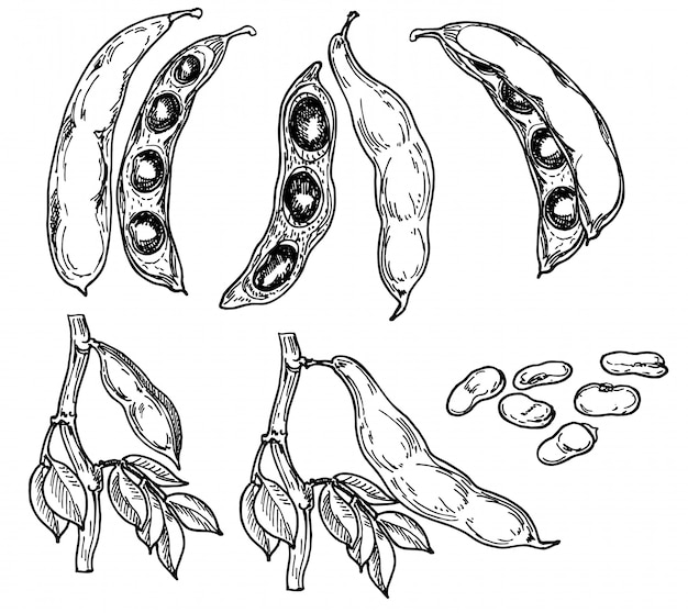 詳細な手描きのインゲン豆、葉の黒と白のイラストセット。スケッチ。マメ科作物。