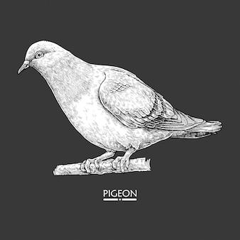 Detailed hand drawn pigeon