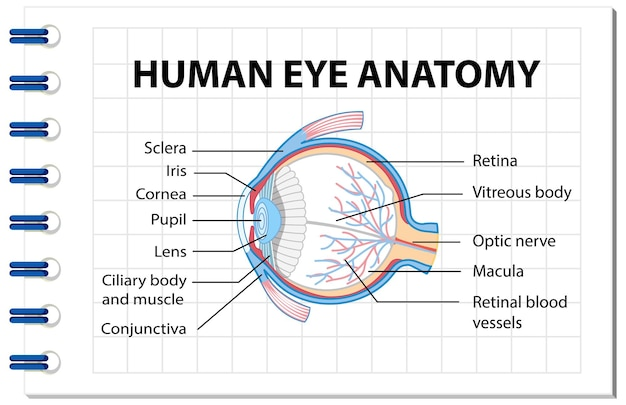 Diagram of human eye anatomy with label