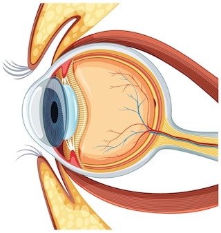 Diagram of human eyeball anatomy